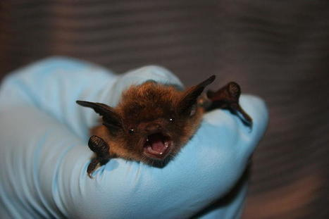What To Do if You Find a Bat This Fall - Iowa Public Radio | Bat Biology and Ecology | Scoop.it
