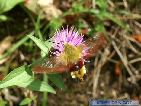 Photo de Papillon : Sphinx gazé - Sphinx fuciforme - Hemaris fuciformis - Broad-bordered Bee Hawk-moth   Fauna Free Pics - Public Domain - Photos gratuites d'animaux   Scoop.it