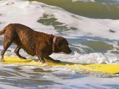 Surf's up! Dog who loves catching waves on surfboard becomes star ... | Silent Sports | Scoop.it