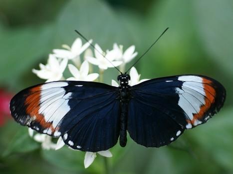 Photos de Papillons : Heliconius heurippa - Serre à Papillons - Volière à Papillon - Papillons exotiques - Hybridation - Spéciation par hybridation | Fauna Free Pics - Public Domain - Photos gratuites d'animaux | Scoop.it