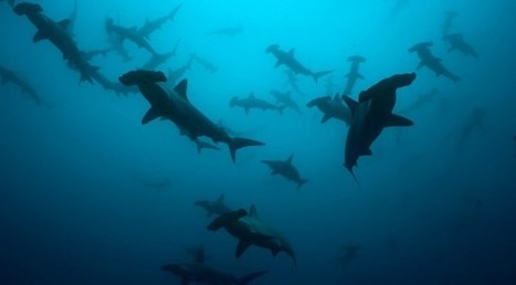 Shark Fin Sales Halved in China - SCUBA News | All about water, the oceans, environmental issues | Scoop.it