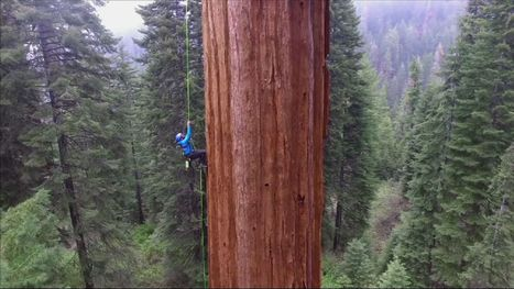Group clones California's huge trees to fight climate change | Eldritch Weird | Scoop.it