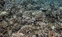 World's #oceans facing biggest #coral die-off in history, scientists warn #climate warming | Messenger for mother Earth | Scoop.it