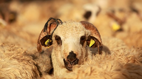 'Psychotic rampage' feared after sheep eat cannabis plants | ReactNow - Latest News updated around the clock | Scoop.it
