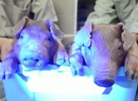 Des cochons transgéniques phosphorescents en Chine | Santé - Health | Science | Scoop.it
