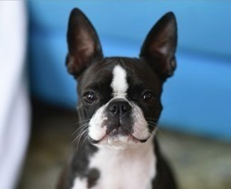 Perfect Model for Photography is a Boston Terrier named Gumiho (Photo) | Boston Terrier Dogs | Scoop.it