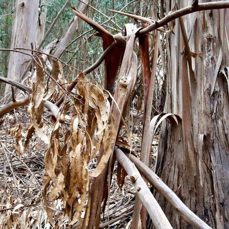 Climate change threatens native eucalypts | Touching the Earth Lightly | Scoop.it