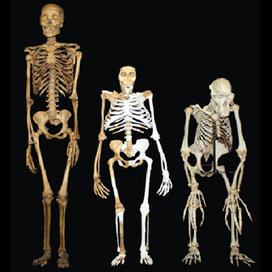 Sediba, hominidé d'Afrique du Sud   Aux origines   Scoop.it