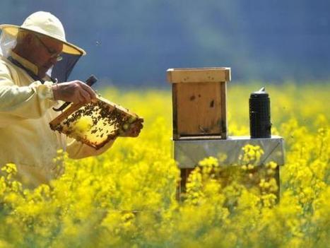 Imker fordern mehr Nahrung für ihre Bienen | Frankfurter Neue Presse | Maiselbiene | Scoop.it