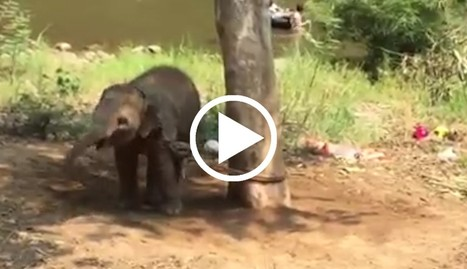 Baby Elephant Was Tied To A Tree And Separated From Her Mother | Our Evolving Earth | Scoop.it