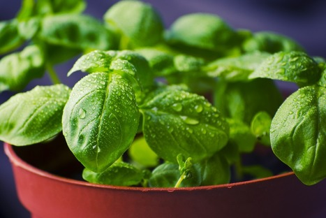 The trick to growing herbs in a pot   Gardens and Gardening   Scoop.it