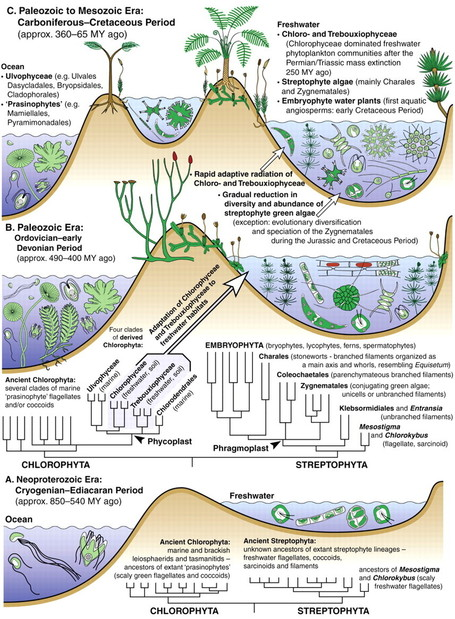 Ann Bot: Streptophyte algae and the origin of embryophytes | Plant Biology Teaching Resources (Higher Education) | Scoop.it
