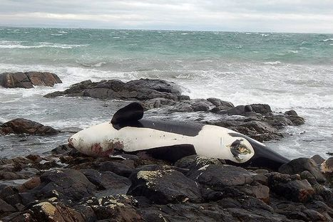 Rare Killer Whale Dies After Becoming Entangled in Fishing Gear | Our Evolving Earth | Scoop.it
