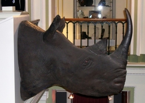 Museum hides £400k rhino heads over robbery fears - Edinburgh Evening News | Kruger & African Wildlife | Scoop.it