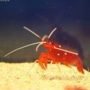 Prawns vs Shrimp : Some Facts - prawnVSshrimp.com   Prawn and Shrimp   Scoop.it