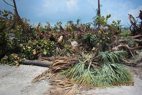 #Mangroves Manhandled by a Yacht Show ~ slow growing! if they ever recover!!! | Rescue our Ocean's & it's species from Man's Pollution! | Scoop.it