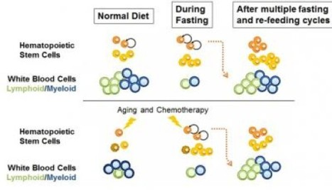 Fasting triggers stem cell regeneration of immune system | Biotech and Beyond | Scoop.it