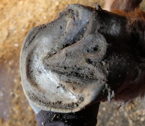 My Horse Has Retracted Soles? | Retracted sole | Scoop.it