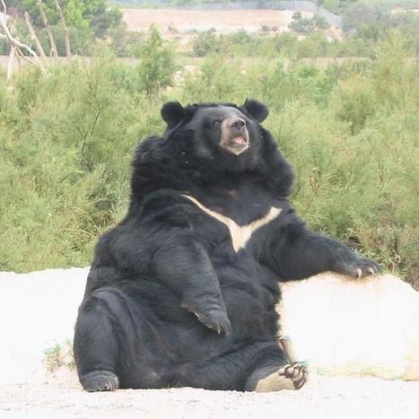 Photos d'ursidés : Ours noir d'Asie - Ours à collier du Tibet - Ursus thibetanus - Asian black bear | Fauna Free Pics - Public Domain - Photos gratuites d'animaux | Scoop.it