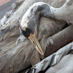 Migratory Mess: Confused CranesPerishin German Fog - SPIEGEL ONLINE | Sauvegarde et Protection des animaux | Scoop.it