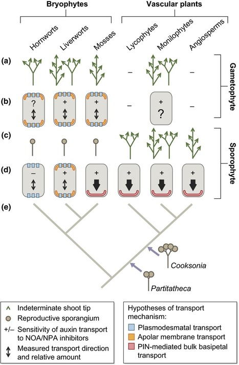 Auxin transport in the evolution of branching forms | Transport in plants and fungi | Scoop.it