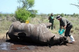 Eleven in Pta court for rhino poaching - Citizen | Kruger & African Wildlife | Scoop.it