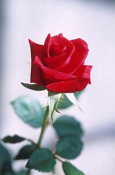 De symbolische betekenis van bloemen - LeerWiki.nl - Schat aan informatie | Bloemenmeisje van amersfoort | Scoop.it
