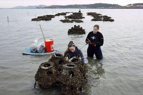 2 million oysters in bay begin restoration effort   Sustain Our Earth   Scoop.it