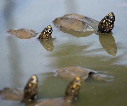 Pakistan customs bag record haul of illegal turtle meat | GarryRogers Biosphere News | Scoop.it