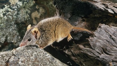 Too much sex kills male marsupials | Upsetment | Scoop.it
