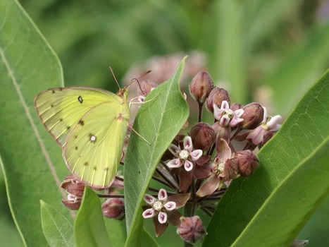 Photo de Papillon : Coliade de la luzerne - Colias eurytheme - Orange sulphur - Alfalfa butterfly | Fauna Free Pics - Public Domain - Photos gratuites d'animaux | Scoop.it