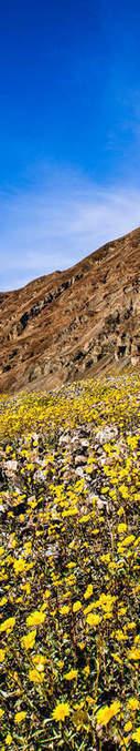 Quand des fleurs sauvages tapissent la Vallée de la Mort   Les déserts dans le monde   Scoop.it