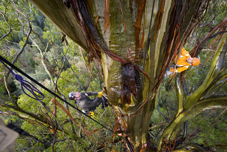 The end of the line for our biggest trees? - Australian Geographic | Australian Plants on the Web | Scoop.it
