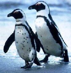 Penguins Around the World | animal adaptations | Scoop.it