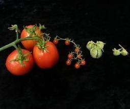 Comparing genomes of wild and domestic tomato | Genetic Resources | Scoop.it