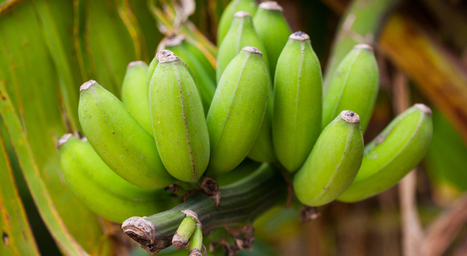 Saving the banana | Science News for Students | marked for sharing | Scoop.it