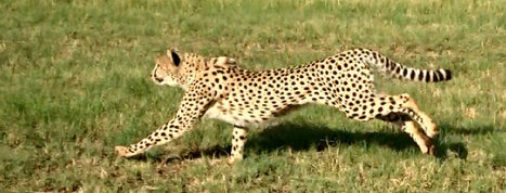 The African Cheetah is Under Threat, Whats Being Done to Protect it | Human-Wildlife Conflict: Who Has the Right of Way? | Scoop.it