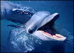 Study: Dolphins Can Problem Solve Like Humans - Sci-Tech Today | Problem Solving in HE | Scoop.it