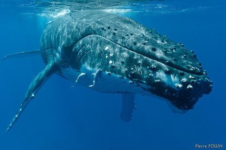 Des baleines à Tahiti, mai 2013 | TAHITI Le Mag | Scoop.it