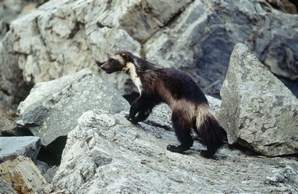 Conservation groups to sue over wolverine decision | GarryRogers Biosphere News | Scoop.it