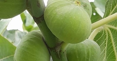 Figs Photo Collection Around the World: Xinjiang Figs by Saf Fa Fig Garden Part 1 | Indonesia NEWS Fast and Update | Scoop.it