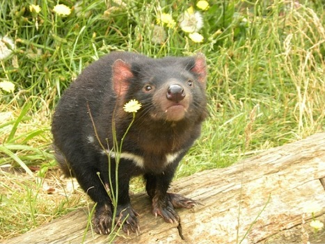 Tasmanian Devils Might Survive Cancer Scourge - Wired News   Devil Facial Tumour Disease   Scoop.it