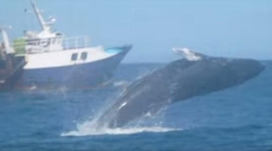 VIDEO: Une baleine à bosse filmée par un pêcheur au large du Bassin d'Arcachon