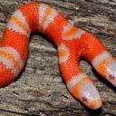 Two-Headed Albino Milk Snake Born in Fla. | Xposed | Scoop.it
