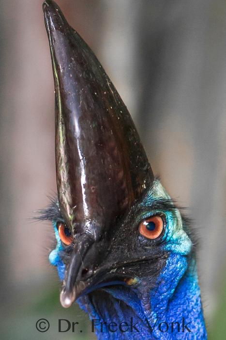The Australian Cassowary! » Fascinating Pics. | CSPB Ornithologist's Alliance. | Scoop.it