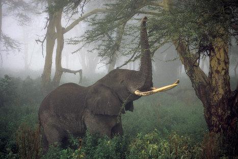 African Elephants Numbers Plummet 30 Percent, Survey Finds | Pachyderm Magazine | Scoop.it