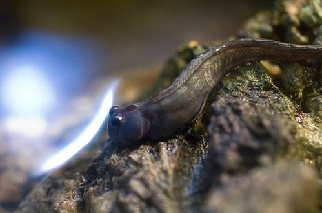 Comment les poissons amphibies ont évolué   Aux origines   Scoop.it