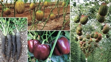 Israel: Chocolate-colored bell peppers, black radishes and purple beans | Modern-Day Homesteader | Scoop.it