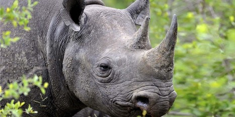 Endangered Rhino Just Wishes His Horn Didn't Make People Immortal | Interview Tips for High School Students | Scoop.it