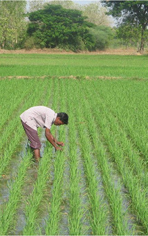 THAILAND: SRI - A Better Way to Grow Rice? | Selected News from SRI-Rice: April 2016 **sririce.org | Scoop.it